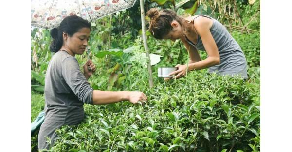 La raccolta del tè: il nostro viaggio tra Nepal e India