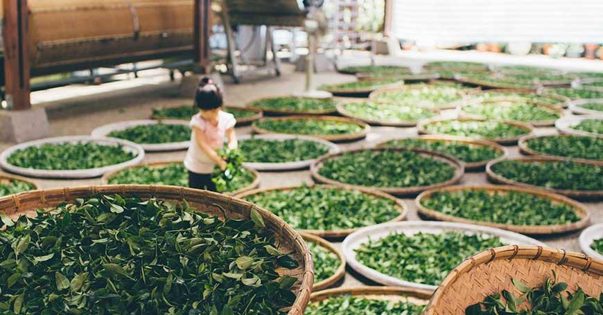 Sencha, Tè Verde Giapponese: Proprietà e Preparazione