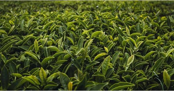 Tè Verde: Cos'è, Storia, Rolling, Ossidazione e Terroir