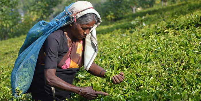Tè Srilankese