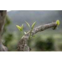 Shan tea, tè giallo di alberi antichi