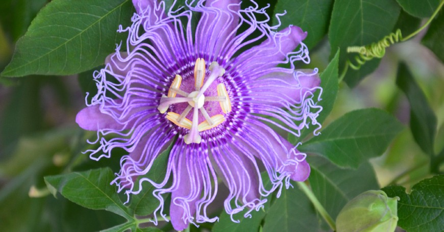 passiflora dormire
