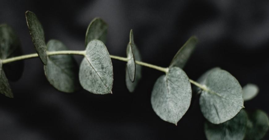 eucalipto cistite