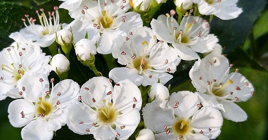 fiori di biancospino erba naturale per dormire