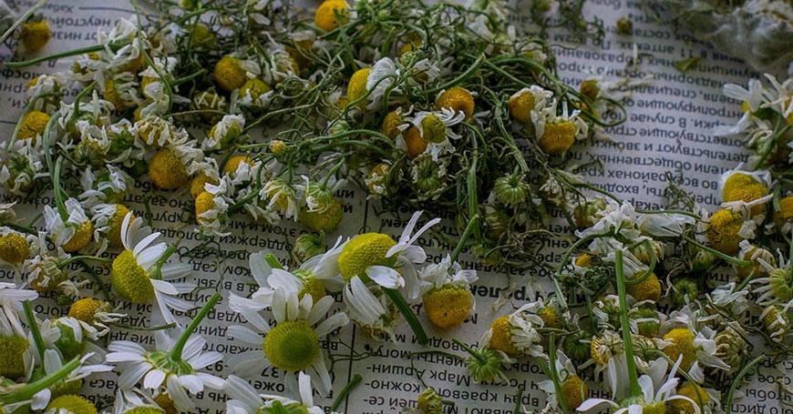 fiori di camomilla erba per dormire