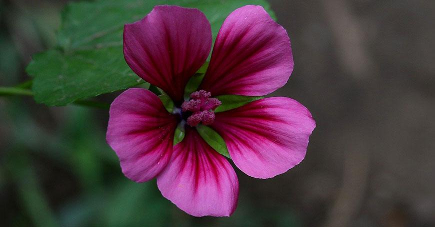 fiore di malva rimedio naturale per dormire