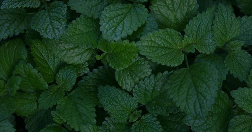 foglie di melissa erba rilassante per dormire