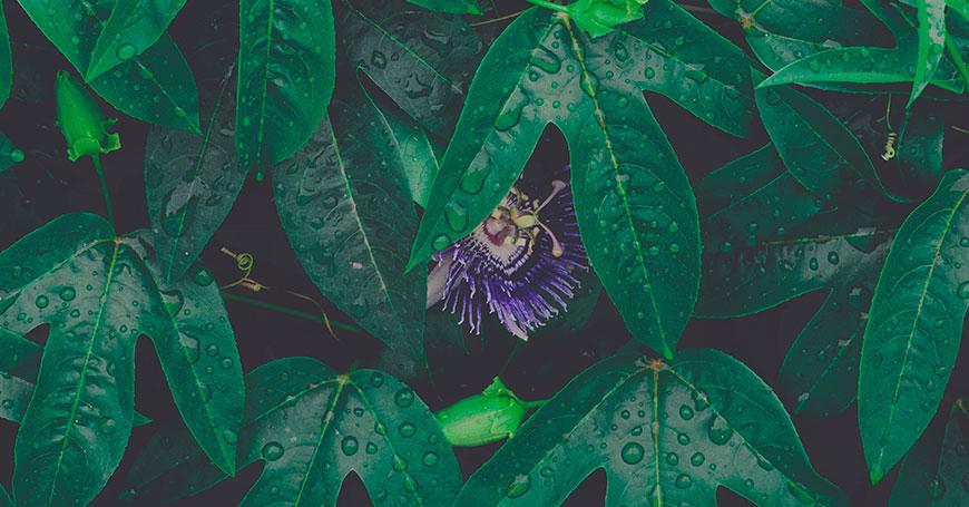 fiore di passiflora erba rilassante per dormire