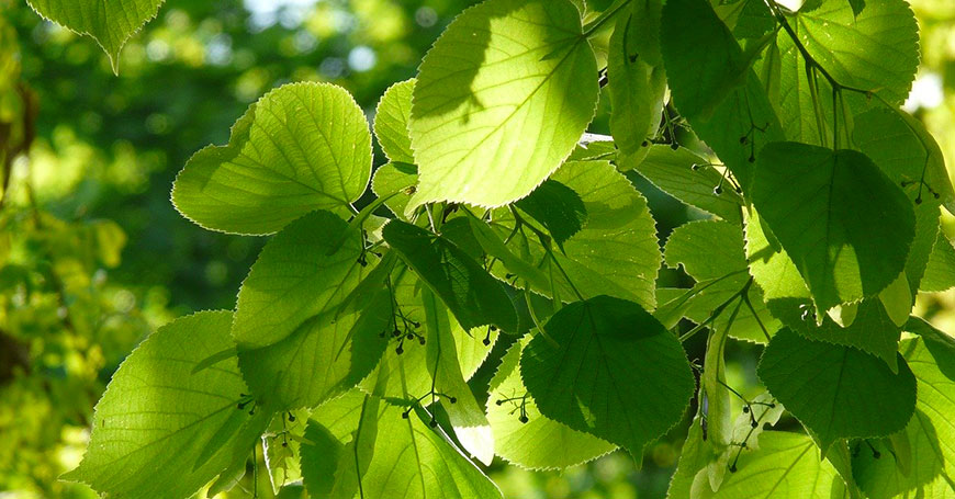 foglie di tiglio da prendere la notte per dormire