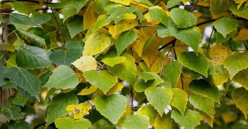 betulla pianta spontanea
