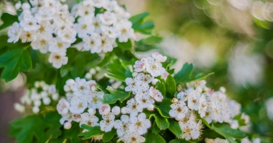 biancospino pianta spontanea