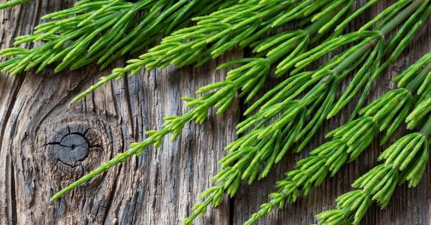 equiseto pianta spontanea