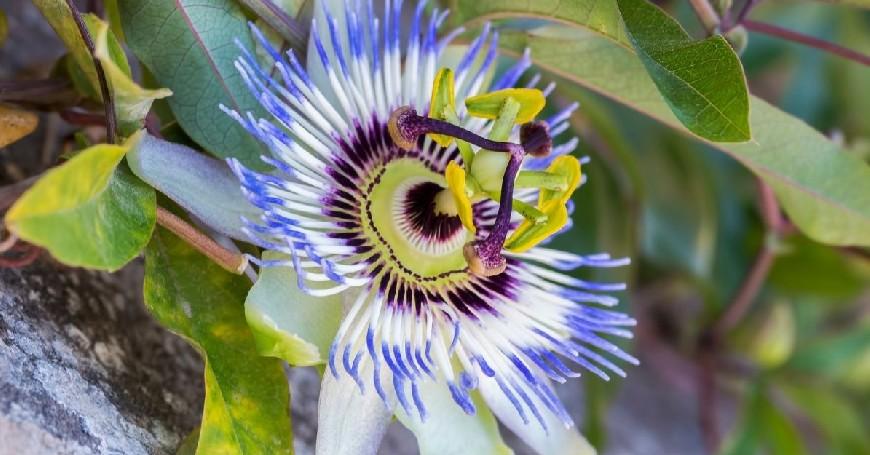 passiflora in menopausa