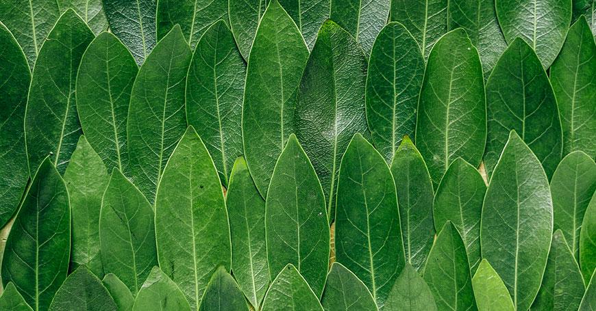 foglie di alloro da cui si estrae l'olio essenziale di alloro con proprietà antivirali