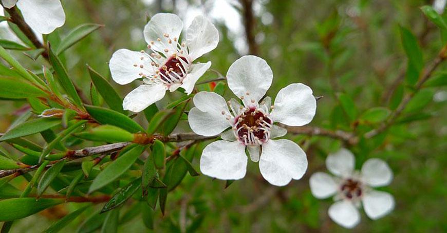pianta di te tree da cui si ricava l'olio essenziale tea tree oil