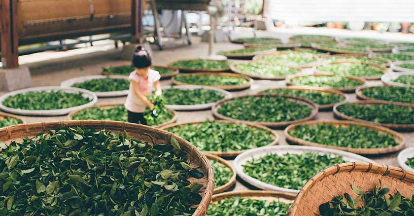 origini del tè e lavorazione
