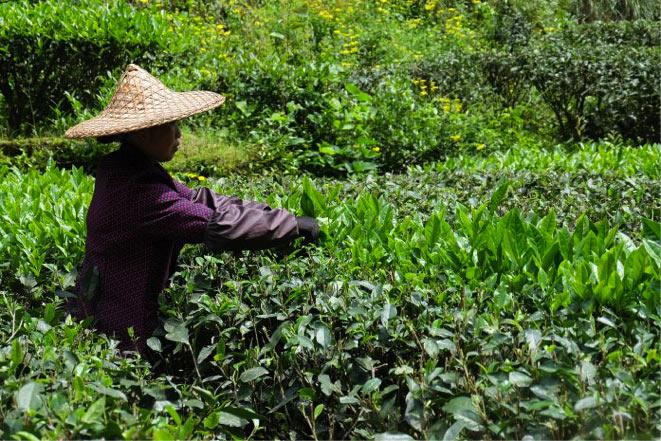 La raccolta del Tè Oolong