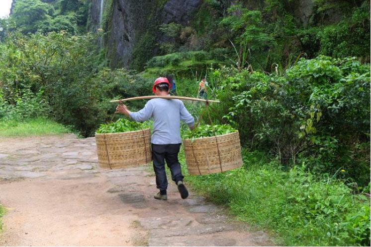Il trasporti dei Tè Oolong sui monti Wuyi