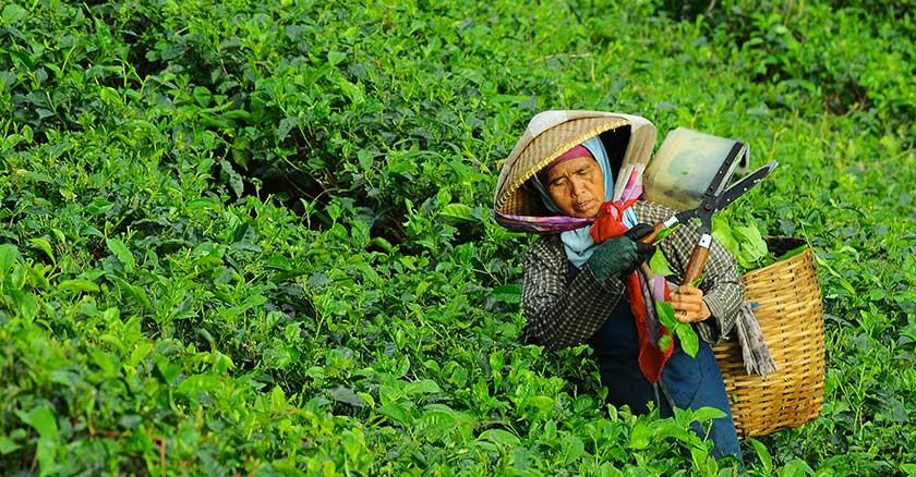 coltivazione di tè verde con donna che raccoglie tè