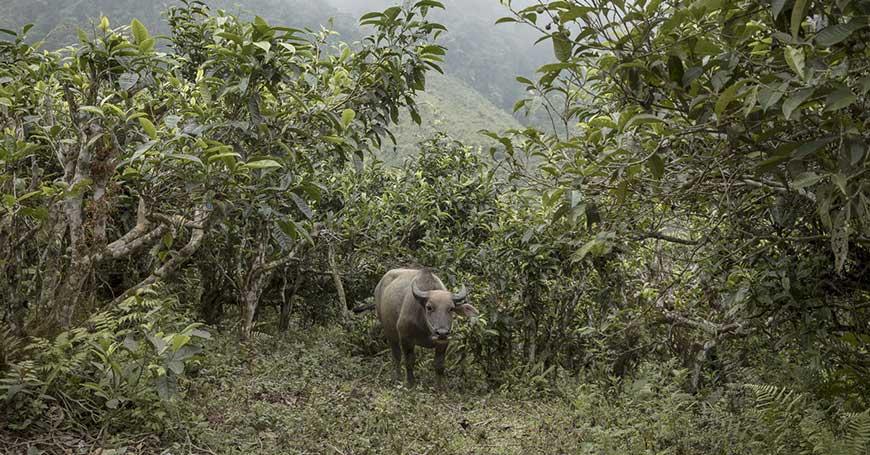 piantagione tè vietnam