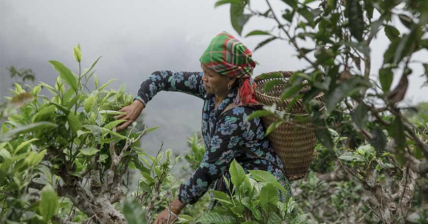 piantaggioni di tè vietnam ha giang